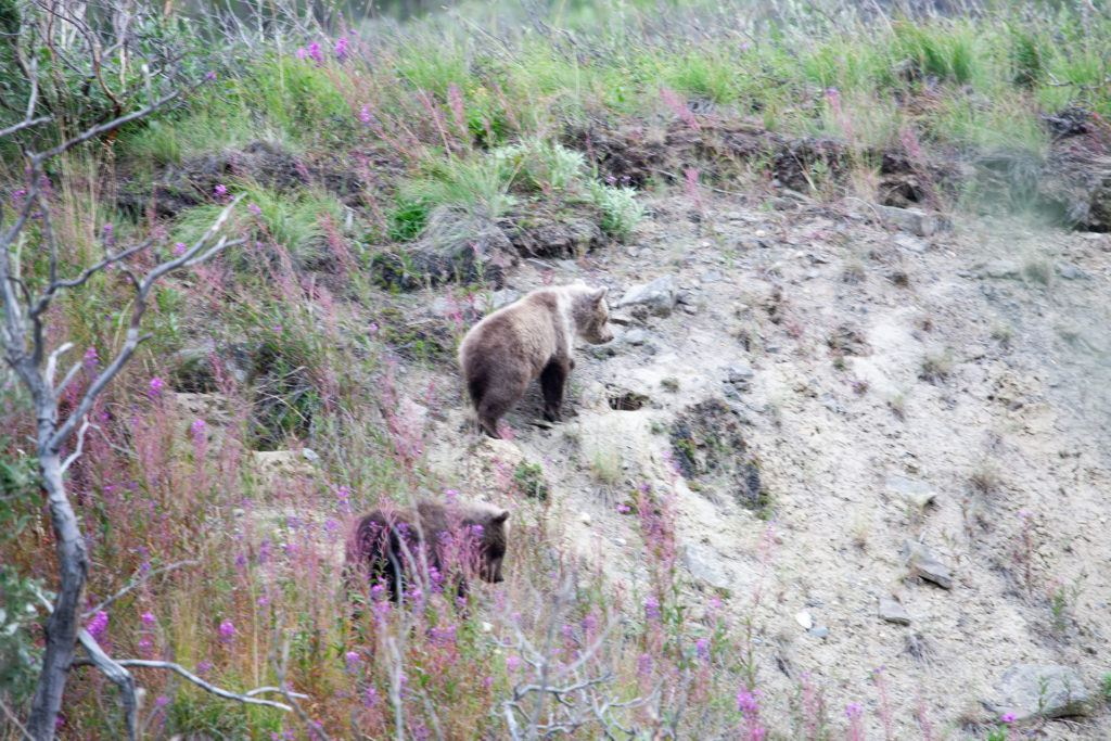 Two grizzly cubs climb an embankment in Denali National Park.
