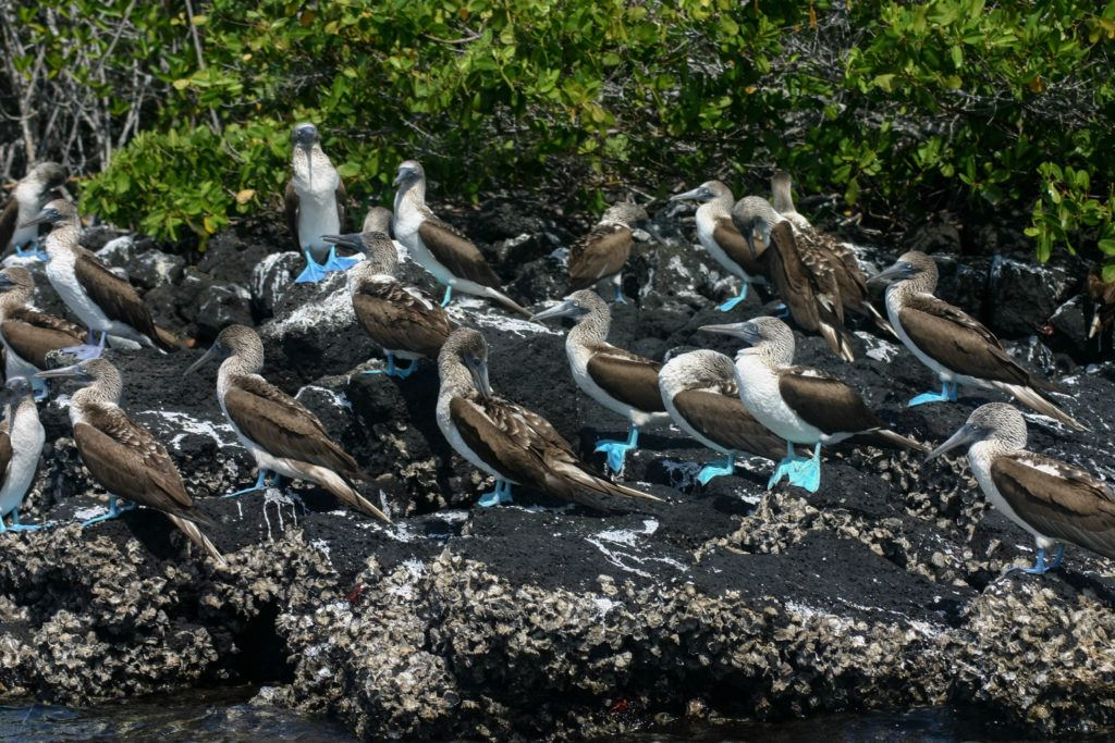 Bright blue-footed boobies on a rock.