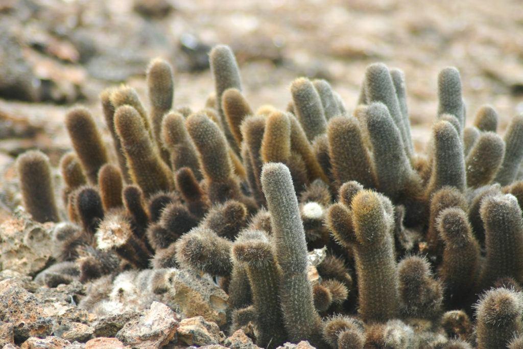 Galapagos cacti.