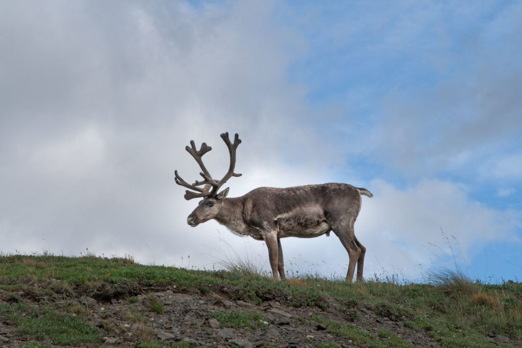 Caribou can usually be seen all around Denali National Park.