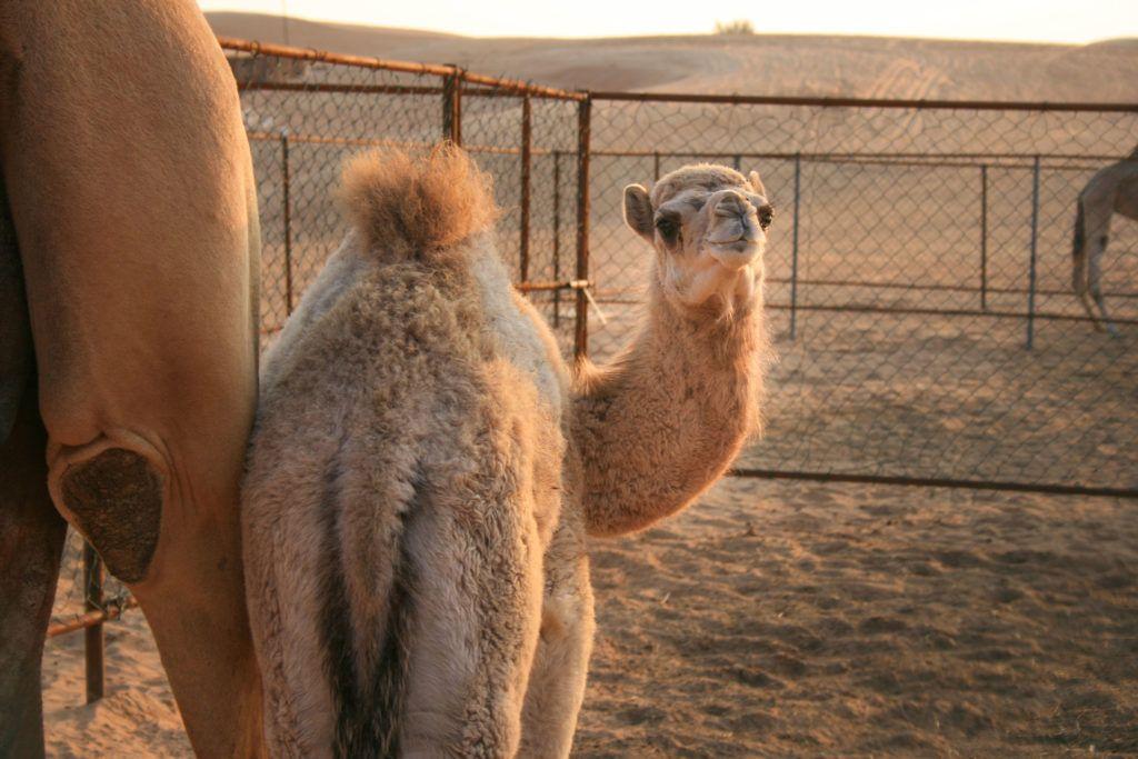 A baby camel bats her eyelids at us in the desert near Dubai.