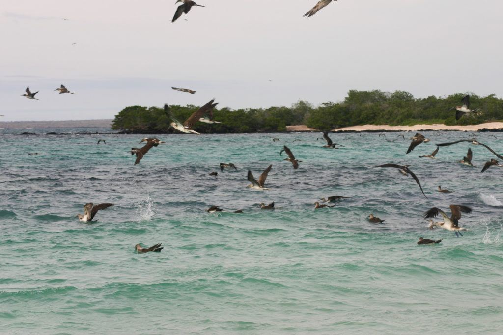 Blue-footed boobies fishing.