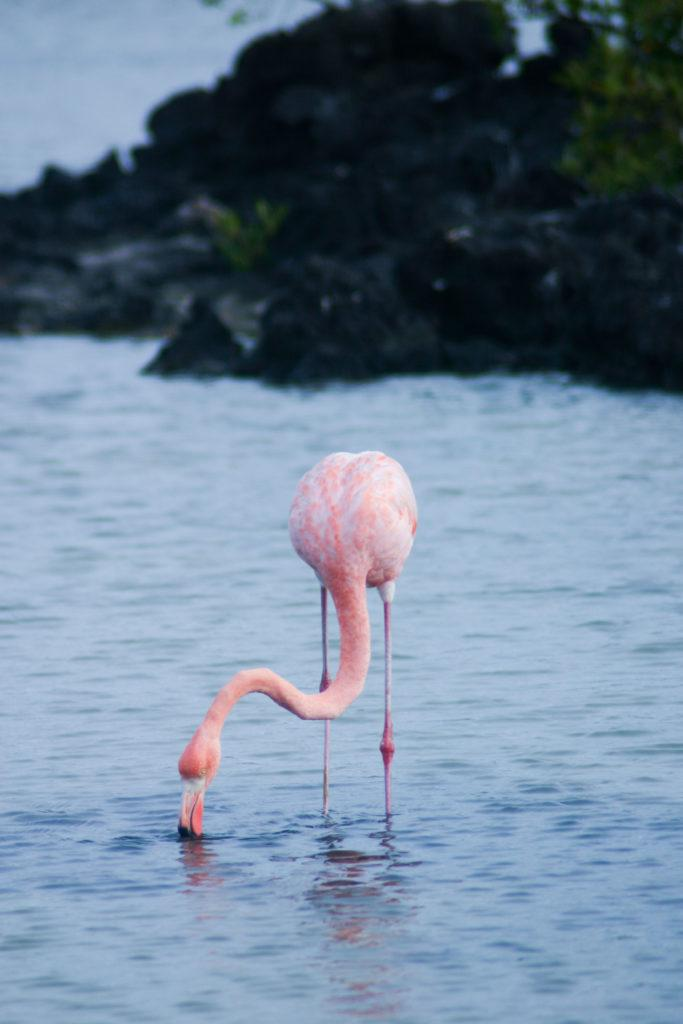 A flamingo in the Galapagos.