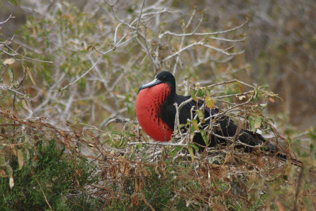 Frigate bird.