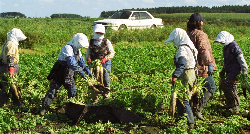 Ladies pick the large daikon (radishes) in August in the Aomori prefecture.