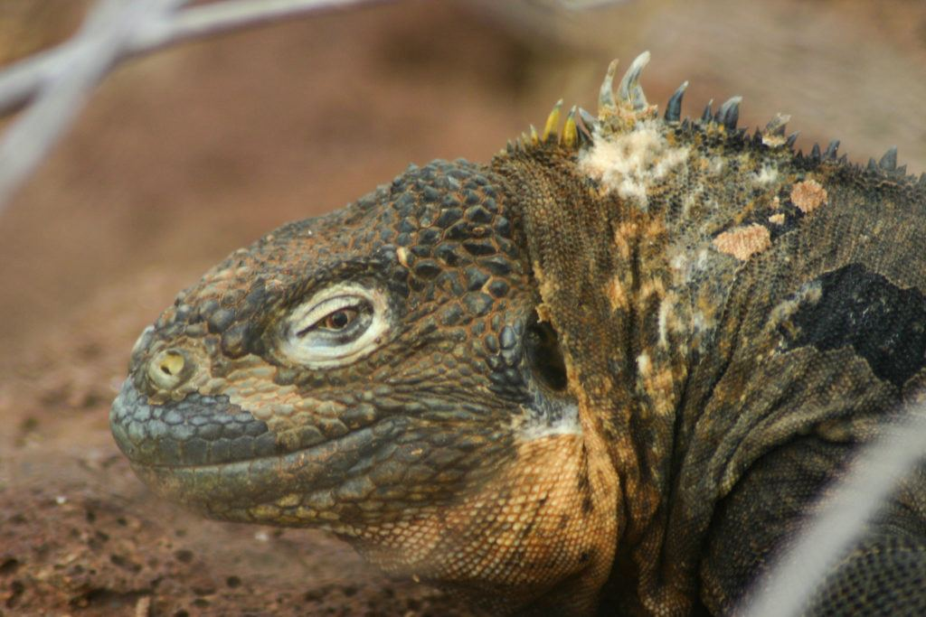 A land iquana greets us in the Galapagos.