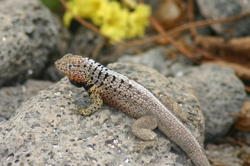Galapagos lava lizard.