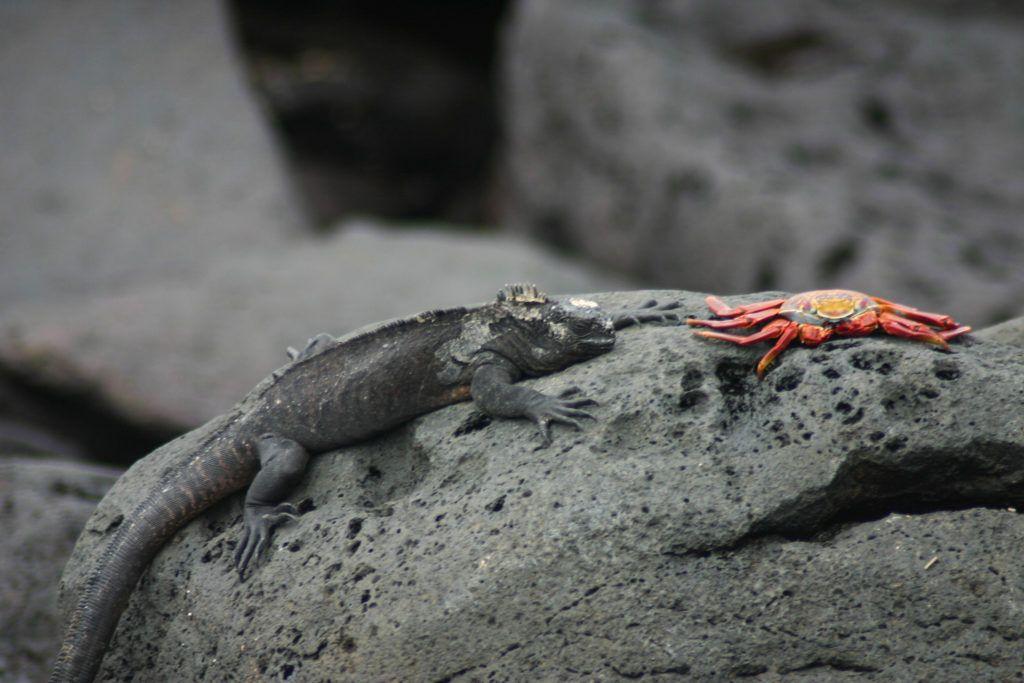 Marine iguana and Sally Lightfoot crab.