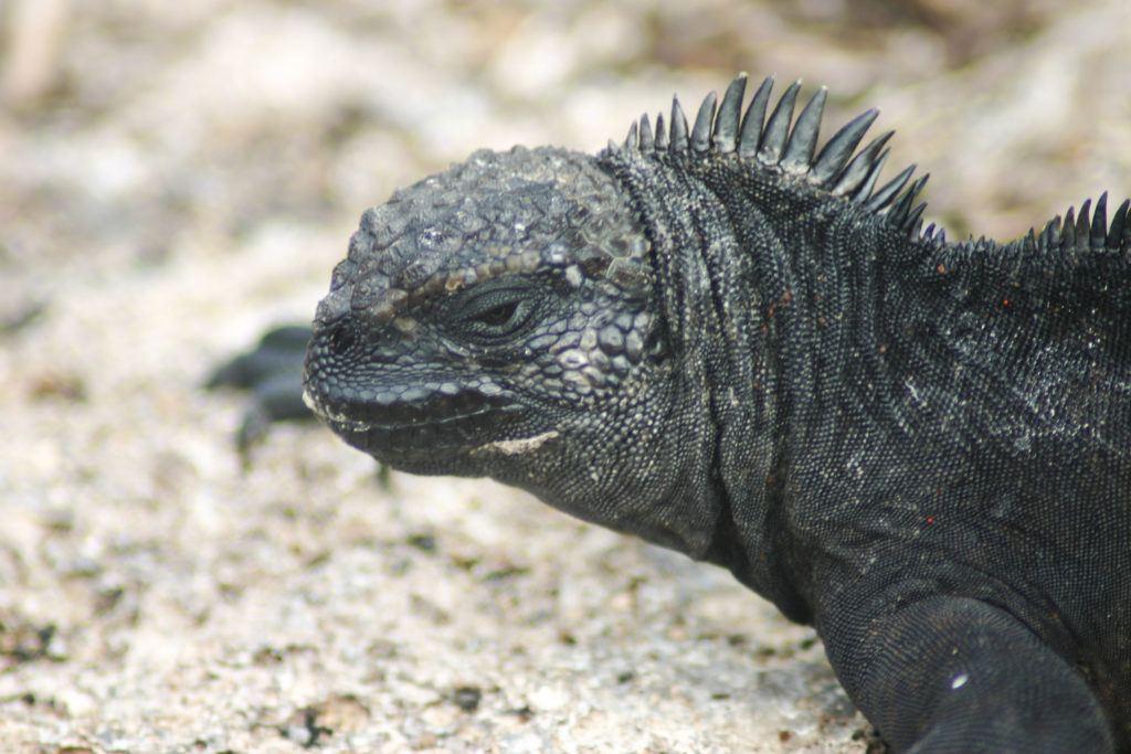 Closeup of a Galapagos Marine iguana face.