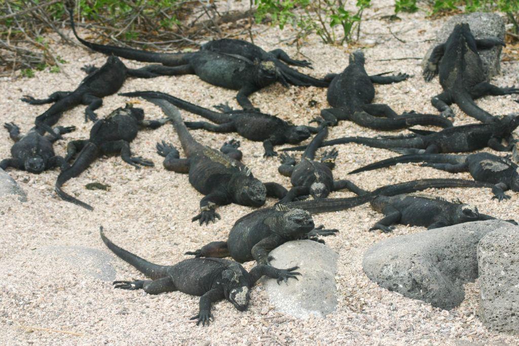 Galapagos Marine Iguanas.