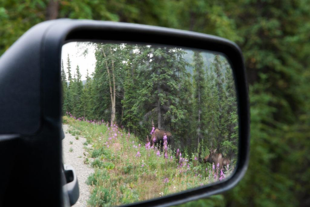 Brother and sister moose hanging out near the Denali Visitor's Center come up behind the car, and we spot them in our rear-view mirror.