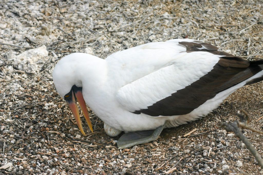 The fascinating animals of the Galapagos, this Nazca booby is rolling its egg.