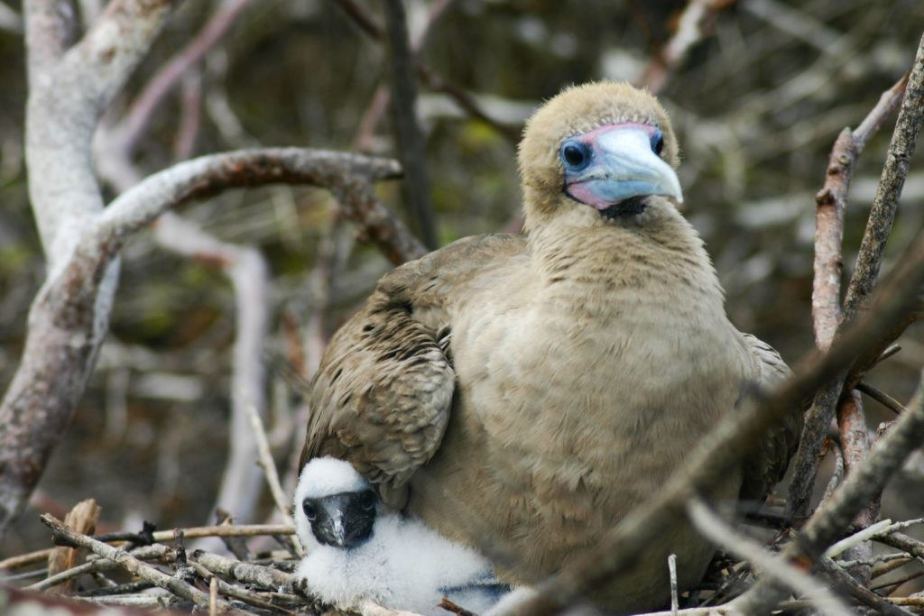 A mother and chick red-footed booby.