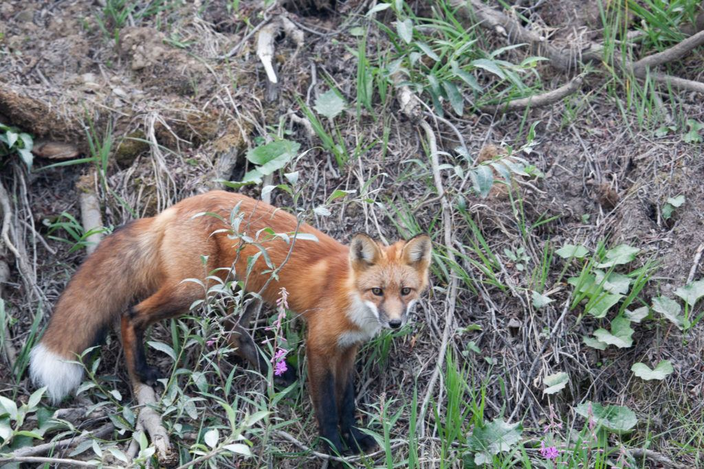 A wary red fox keeps his eye on us.