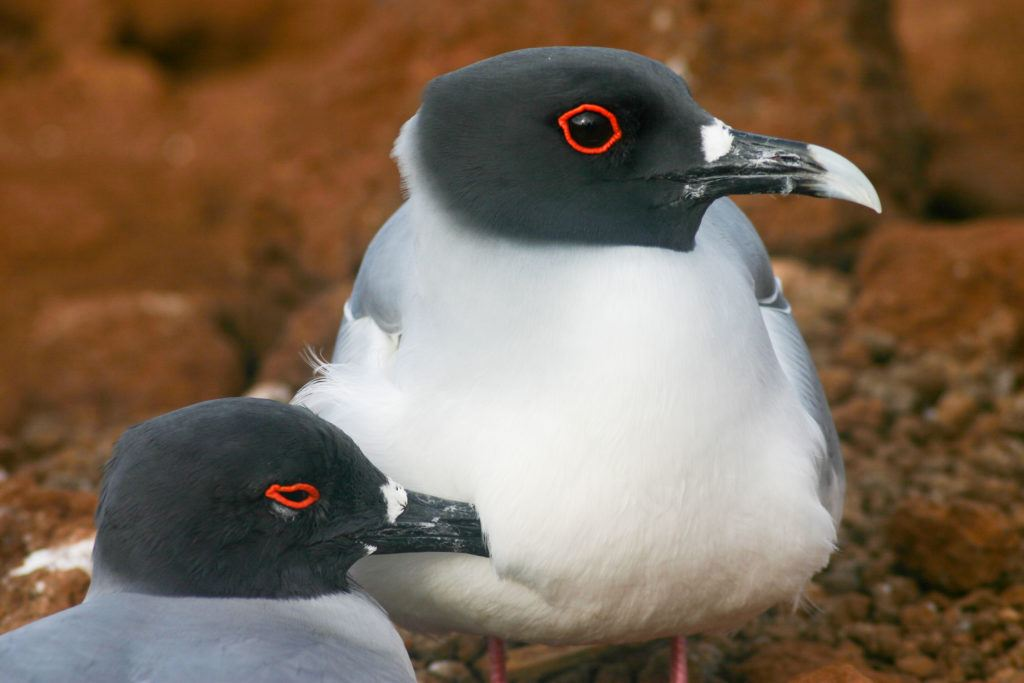 Mating pair of swallow tailed gulls.
