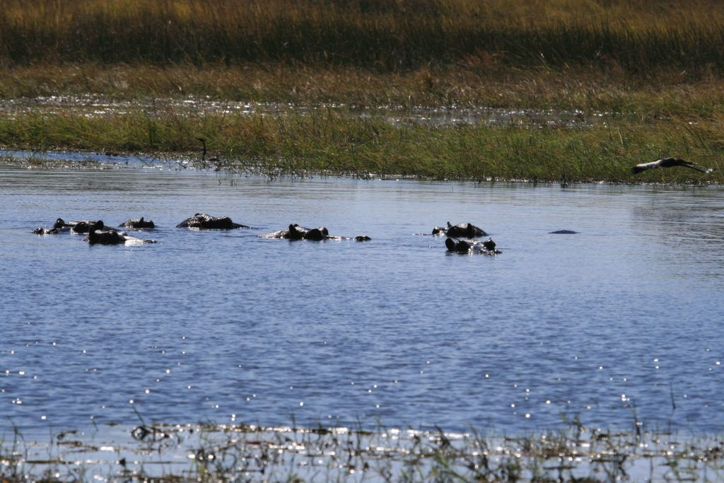 A Bloat of hippos with just their eyes and ears above water; they are a favorite Okavango Delta wildlife sight with visitors.