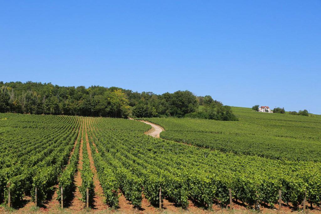 Burgundy vineyards.