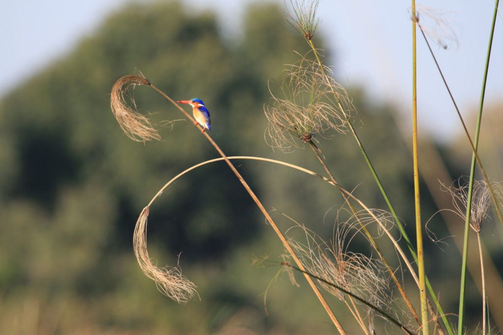 A Malachite kingfisher sits on a papyrus reed in the Okavango Delta, a great location for birdwatching.