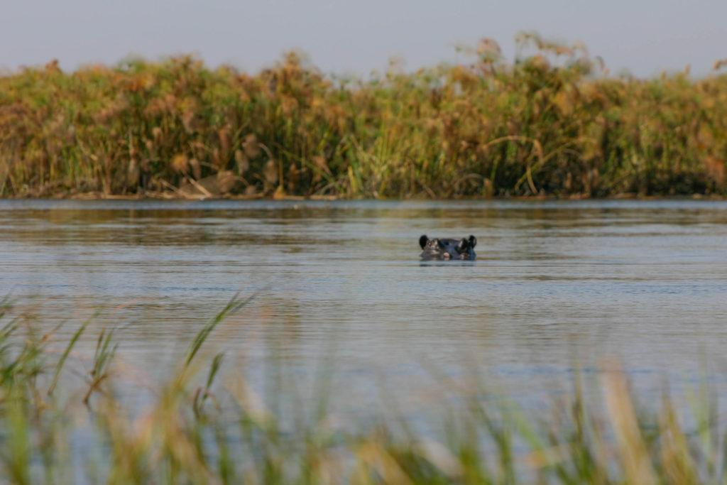A female hippo keeps watch on us as we traverse the delta in our traditional boat.