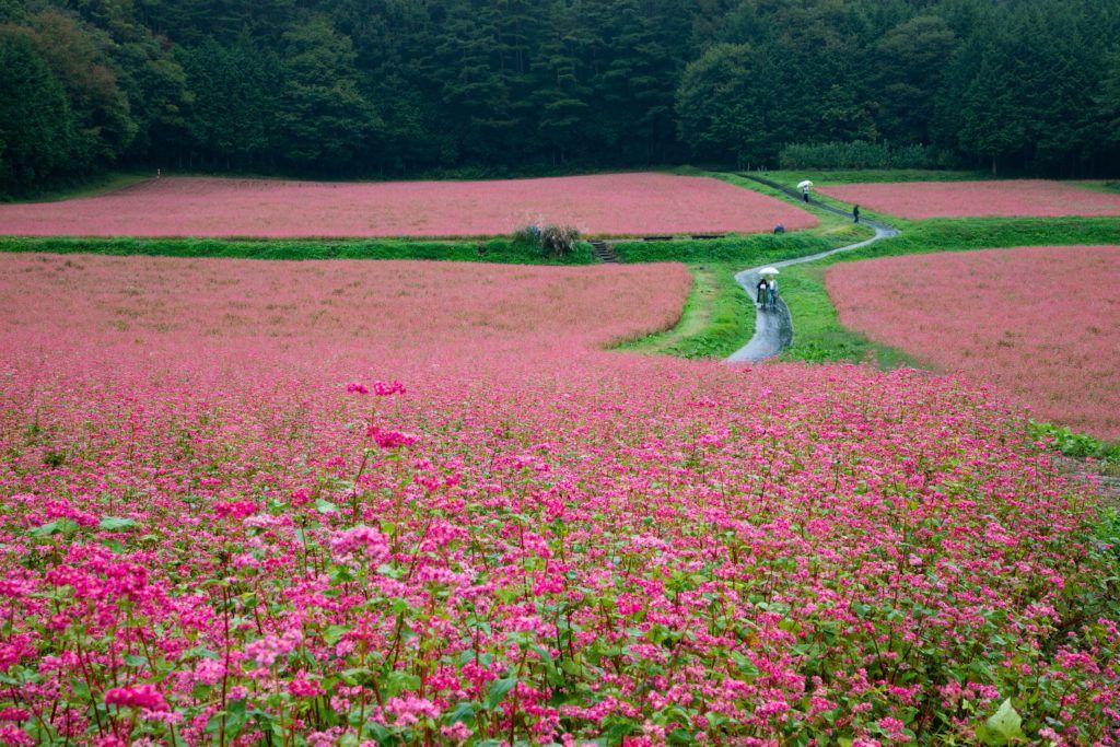 Red Buckwheat fields in Japan.