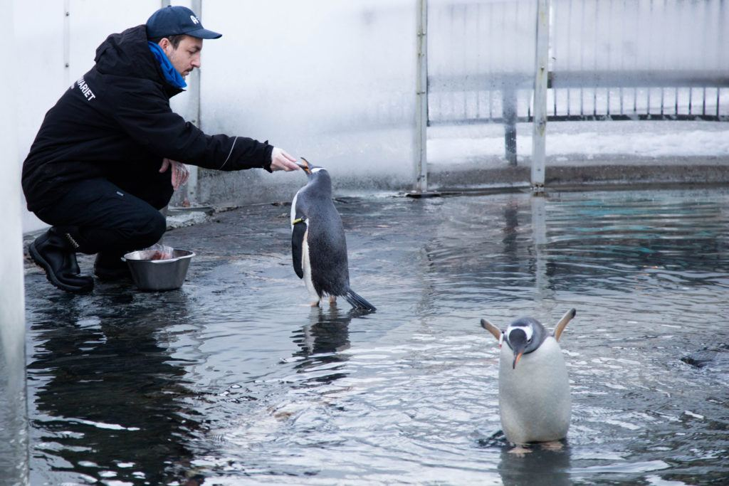A man feeds the Penguins at the Bergen Aquarium. Add visiting the aquarium to your list of things to do in Bergen in winter.