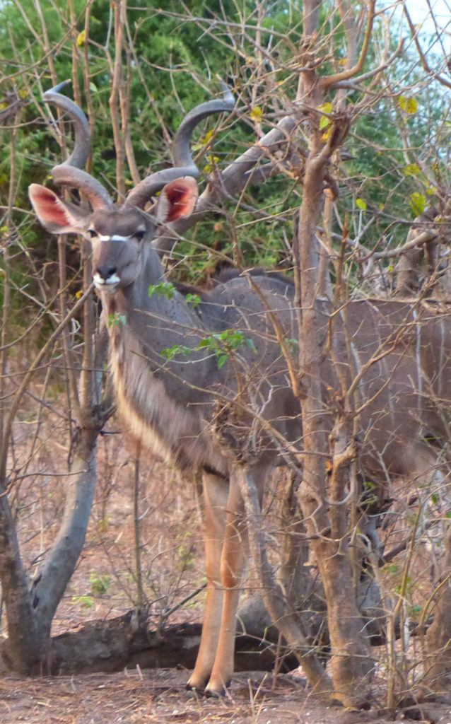 A large Kudu with huge twisted antlers and bright pink ears watches us watch him on a Chobe game drive.
