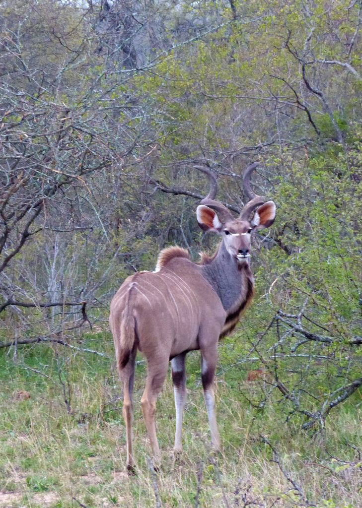 A large male Kudu, with impressive twisted horns, looks back at us as he walks away.