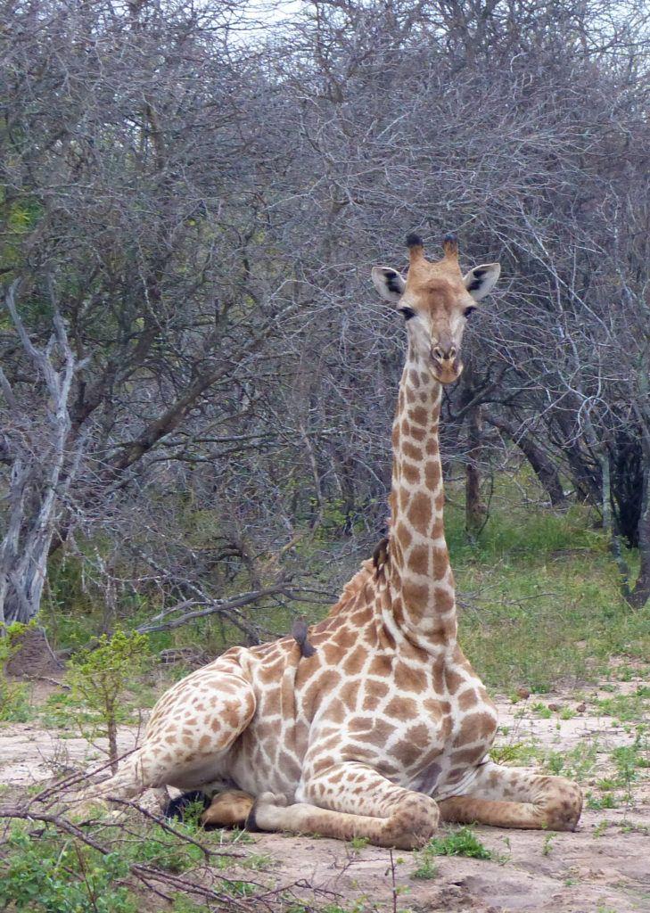 A female giraffe is calmly laying down near Thornybush lodge while oxpecker birds clean away ticks.